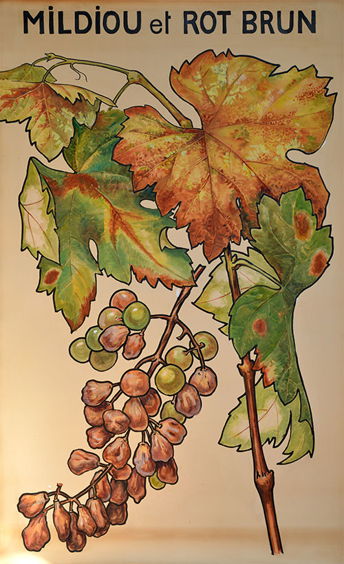 Planches pédagogiques de viticulture et pathologie végétale