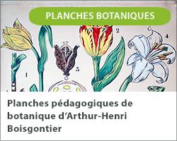 Planches pédagogiques de botanique d'Arthur-Henri Boisgontier