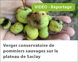 Verger conservatoire de pommiers sauvages sur le plateau de Saclay