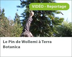 Le Pin de Wollemi à Terra Botanica