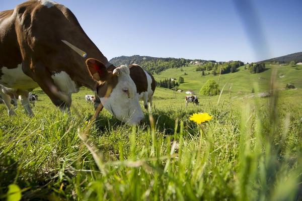 vache réduite