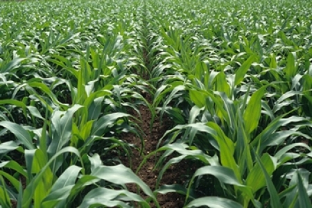 Culture maïs