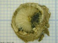 Image phoma classe 3 : de 25 à 50% de section nécrosée.