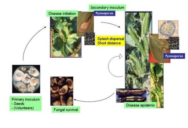 Life cycle of ascophyta fabae on faba bean