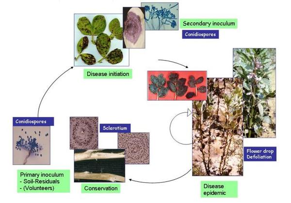 Life cycle of Botrytis fabae on Faba bean