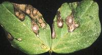 Symptoms of ascochyta blight on faba bean leaves: appearance of dropping