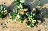 Symptoms of ascochyta blight on young faba bean plants