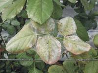 Web of Tetranychus urticae (Koch) on a rose leaf