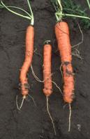 Meloidogyne chitwoodi on carrot