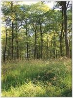 Chênaie envahie par Molinia caerulea (Molinie)
