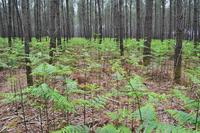 Photo de fougère aigle sous peuplement de pin