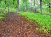 Myrtille à la Petite Pierre : Herbicide après deux ans à gauche, témoin végétation naturelle à droite