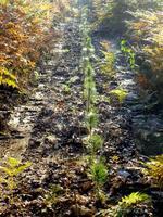 Photo de jeunes pins