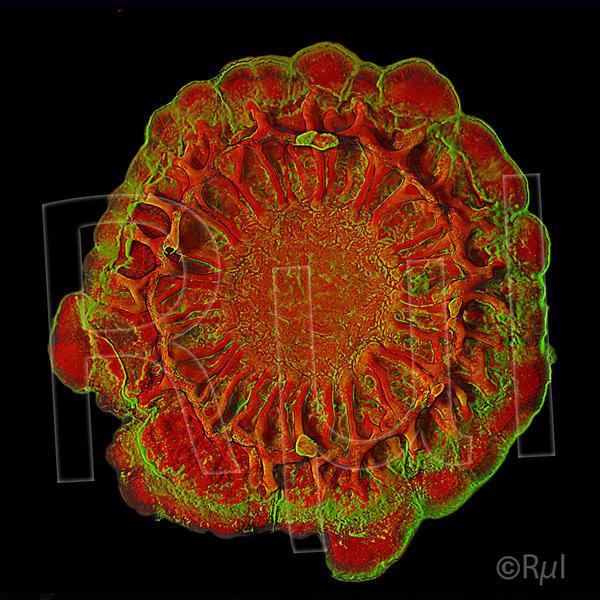 Colonie de Bacillus subtilis (Confocal - ©Julien Deschamps MIMA2)