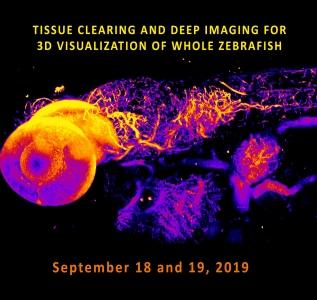 Clarification pour imagerie 3D zebrafish