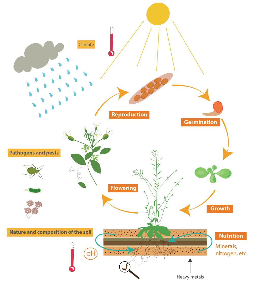 Drawing of the plant's life cycle in its environment
