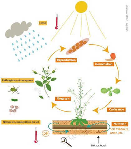 Schéma du cycle de vie de la plante dans son environnement