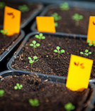 Culture de plantes Arabidosis Thaliana en serre
