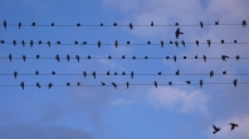 Inra, CARRERAS Florence (oiseaux au repos)