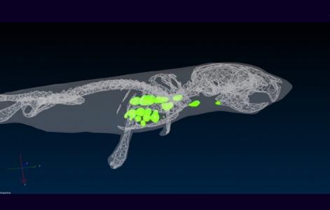 @Ronan Le Goffic (visualisation 3D des zones de réplication du virus chez une souris NF-κB, système IVIS)