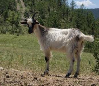 Chèvre provençale. M. Capitan