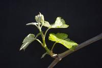 développement végétatif à partir d'un bourgeon