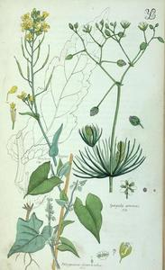 Polygonum_Spergula_Brassica