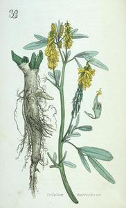 Trifolium_macrorhizum