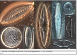 synaqua-diatomees