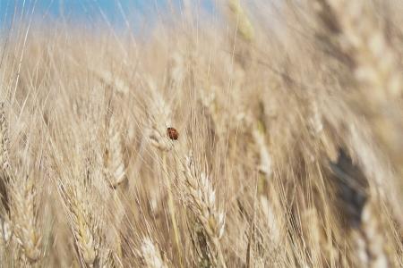 blé dur