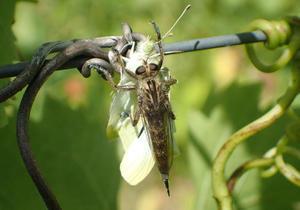 Asilidae, diptère prédateur de ravageurs lépidoptères