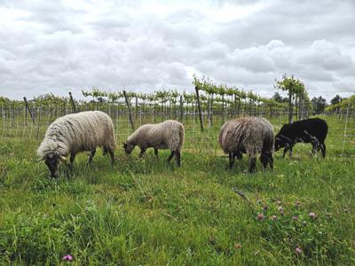 mouton antares SRC2