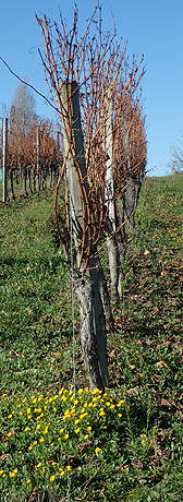Vignoble en hiver