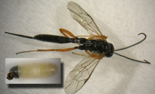 Quantifier le parasitisme naturel des tordeuses