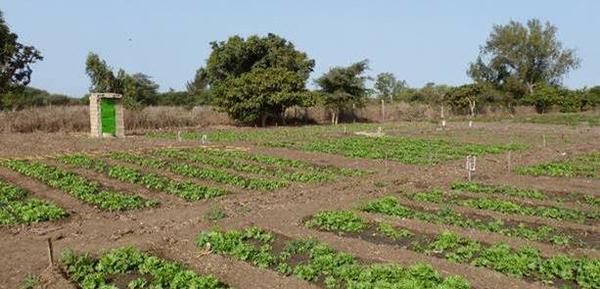 Senegal_photo_laitues