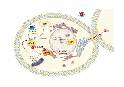 cGAS: structure, function and evolution from bacteria to metazoa